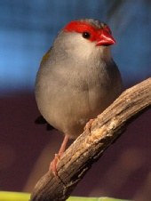 greg - Red brow finch